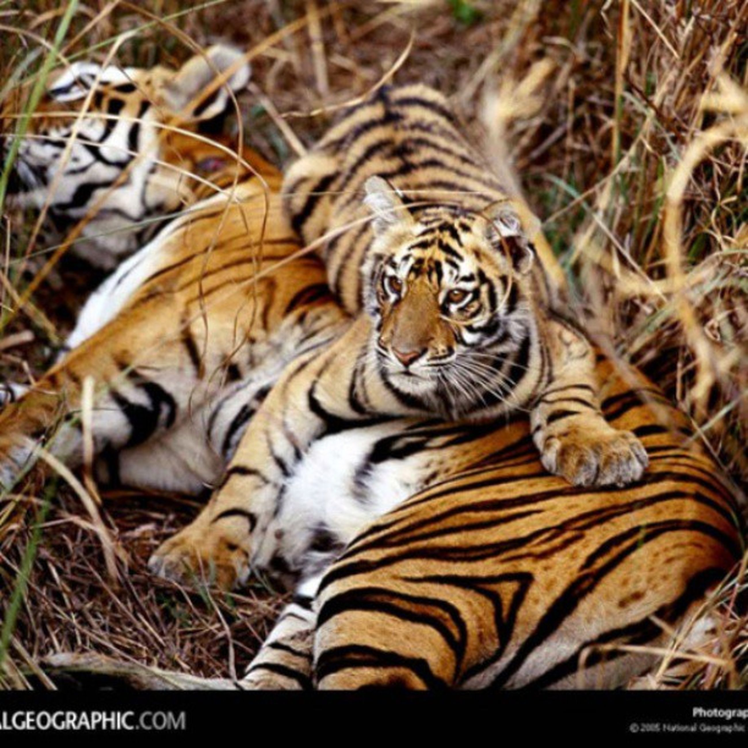 animal themes, animals in the wild, wildlife, one animal, mammal, animal markings, relaxation, tiger, lying down, nature, two animals, high angle view, togetherness, young animal, field, zoo, day, close-up, outdoors