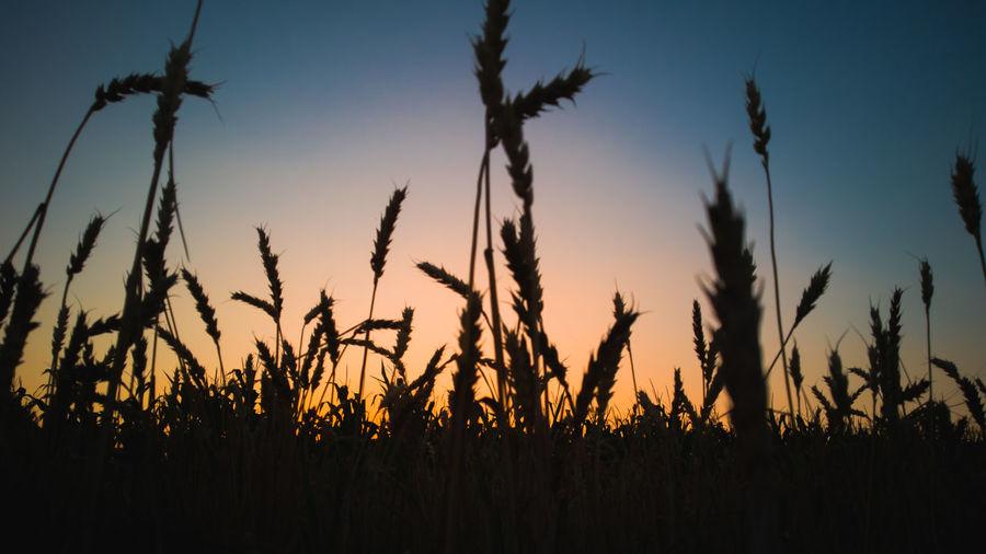 Nie zawsze zobaczysz wszystko co najpiękniejsze będąc zbyt wysoko nad ziemią Sky Nature Sunlight Naturallandscape Landscspe Cereal Plant Rural Scene Sunset Flower Backgrounds Agriculture Blue Silhouette Field Ear Of Wheat Wheat