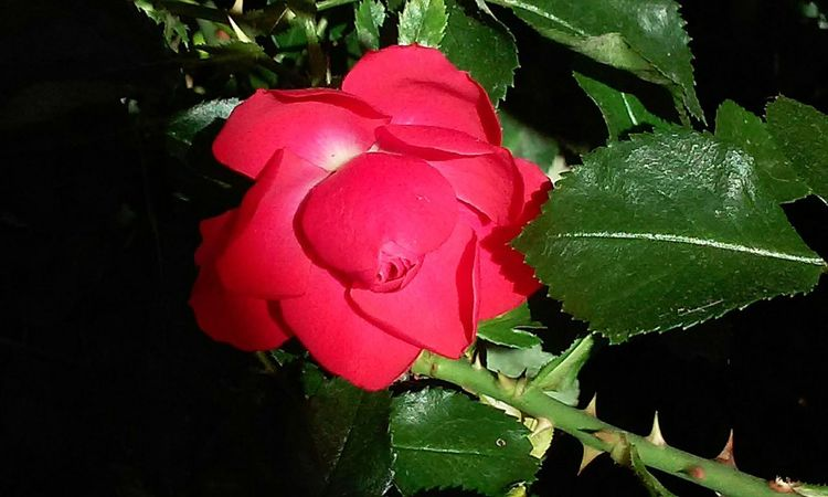 Nature Leaf Flower Red Fragility Beauty In Nature Plant Rose - Flower Growth Petal Close-up Freshness No People Outdoors Day Flower Head