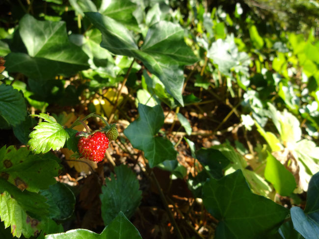 Beauty In Nature Berry Botany Close-up Day Focus On Foreground Food And Drink Freshness Fruit Golden Ratio Green Green Color Growth Leaf Nature No People Outdoors Plant Red Red Ripe Selective Focus Spring Strawberry Sweet