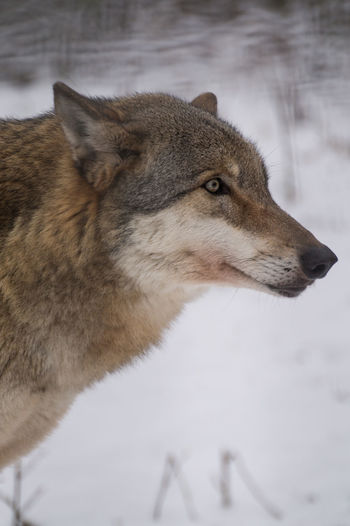 Animal Themes Animal Wildlife Animals In The Wild Close-up Cold Temperature Day Focus On Foreground Forest Lone Wolf Mammal Nature No People One Animal Outdoors Snow Winter Wolf
