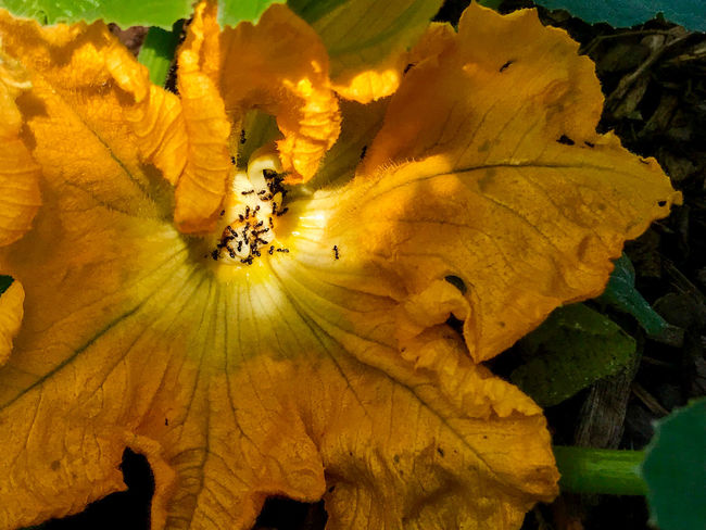 Ants Animal Themes Beauty In Nature Day Flower Flower Head Fragility Freshness IPhoneography Leaf Nature No People Orange Color Outdoors Pollination Pollination By Ant Pollinators Spotlight Squash Blossoms