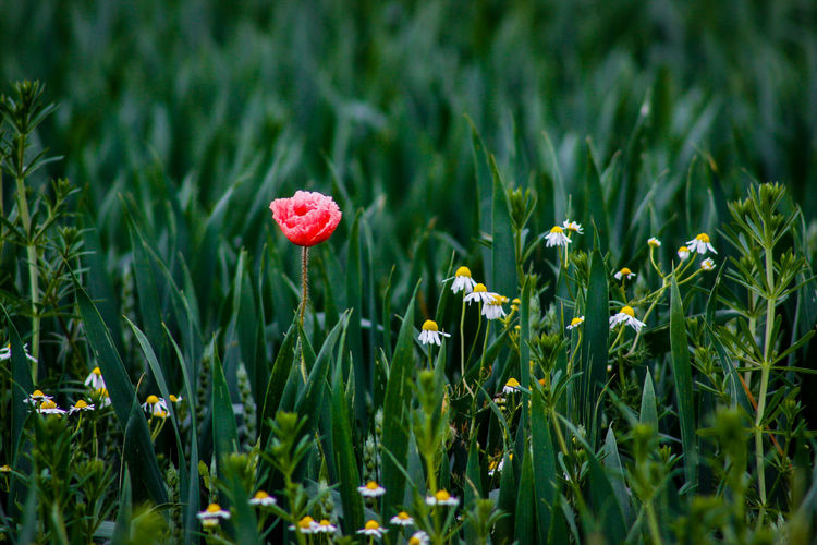 Poppy And Daisies Growing On Field