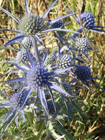 Blue globe thistle Beauty In Nature Blue Globe Thistle Close-up Day Echinops Echinops Ritro Flower Flower Head Fragility Freshness Globe Thistle Globe Thistle Flower Growth Kugeldistel Nature No People Outdoors Plant Purple Thistle