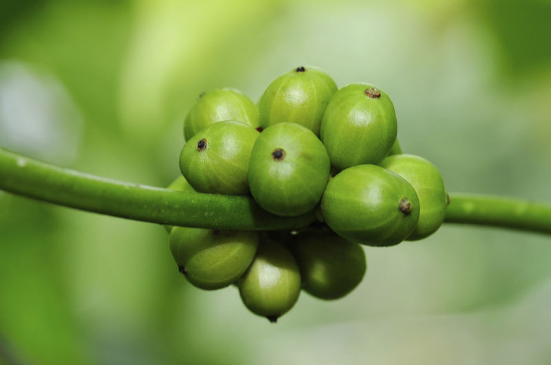 fresh coffee beans Green Color Fruit Healthy Eating Food And Drink Food Close-up Freshness Focus On Foreground Plant No People Wellbeing Growth Day Selective Focus Nature Outdoors Beauty In Nature Granny Smith Apple Tree Plant Part
