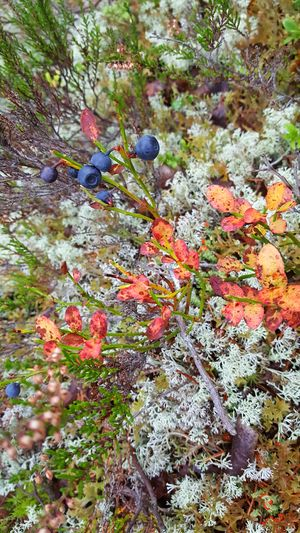 Wild berries Blueberry moss Outdoors Nature Beauty In Nature Close-up Nature Colors Fall Autumn Colors Autumn Nature Art. Nobody Does It Better! Forest Beauty In Nature Moss And Lichen Moss Fungus Norway
