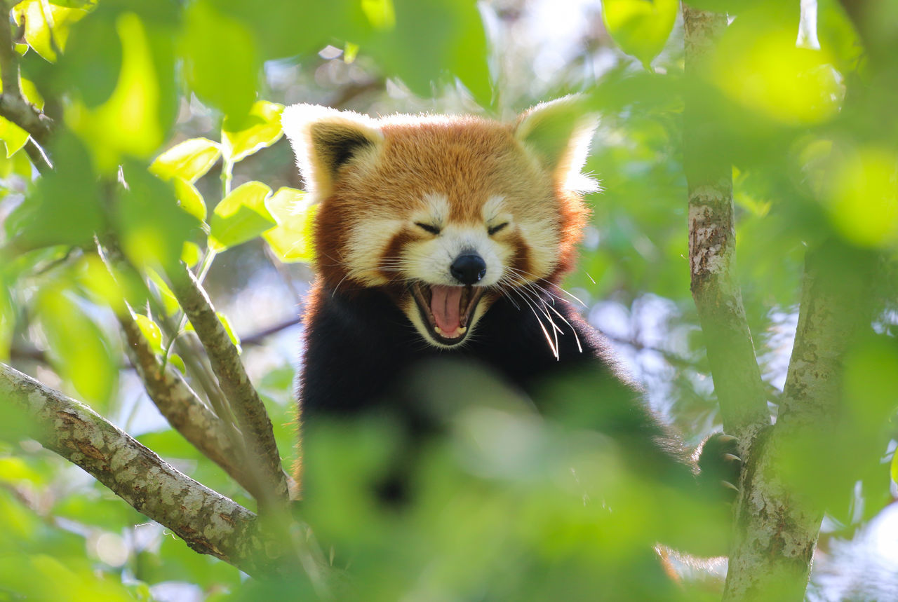 Close-Up Of Red Panda Yawning In Tree
