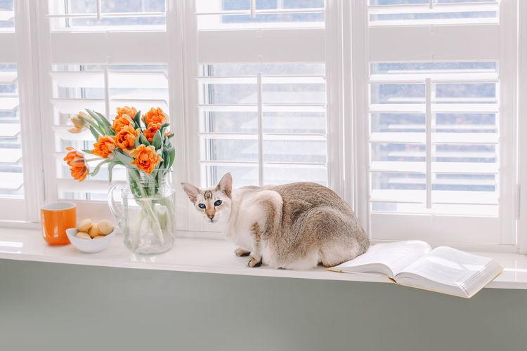 Oriental purebred cat sitting on windowsill. orange tulip flowers in vase. minimalist environment