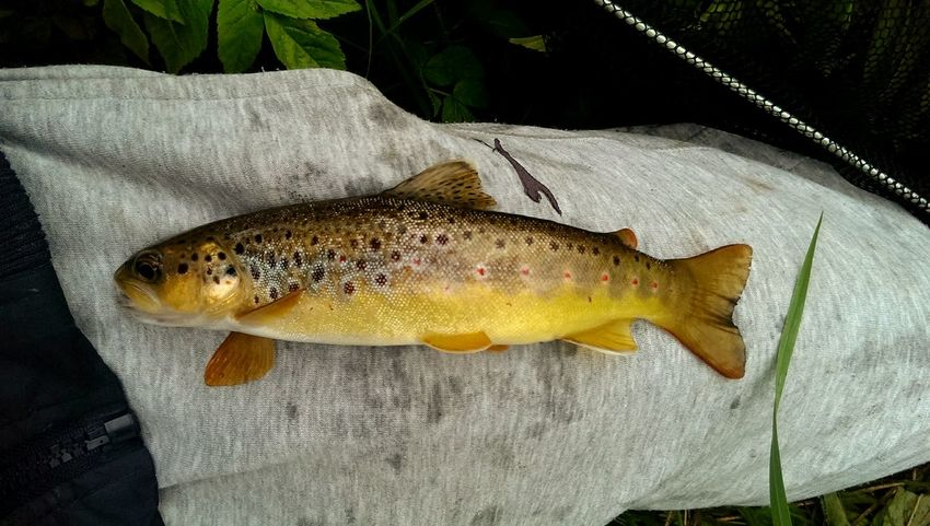 The colours are just amazing from the red in the spots to the gold on it flanks just perfection Check This Out Fishporn Fishphotography Wildlife & Nature Wildtrout Fishing Time Burnside  Relaxing Moments Beautiful Nature Browntrout Colourful Fishing Catchandrelease Hobbyphotography My Hobby