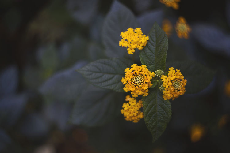 Close-up of lantana camara growing on plant