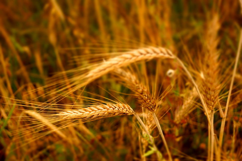 Spikes Arpa Barley Corns Barley Field Cereal Field Spiked Cereal Plant Wheat Agriculture Field Close-up Plant Grass Cultivated Land Farmland Crop  Combine Harvester Rye - Grain Ear Of Wheat Barley Stalk Oat - Crop Agricultural Field Bale  Rice Paddy Hay Bale Dragonfly Farm