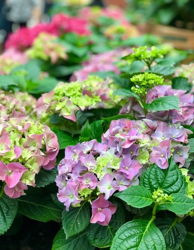Hydrengea Plant Freshness Flower Leaf Beauty In Nature Plant Part Flowering Plant Growth Fragility Vulnerability  Close-up Petal Pink Color Nature Green Color Day