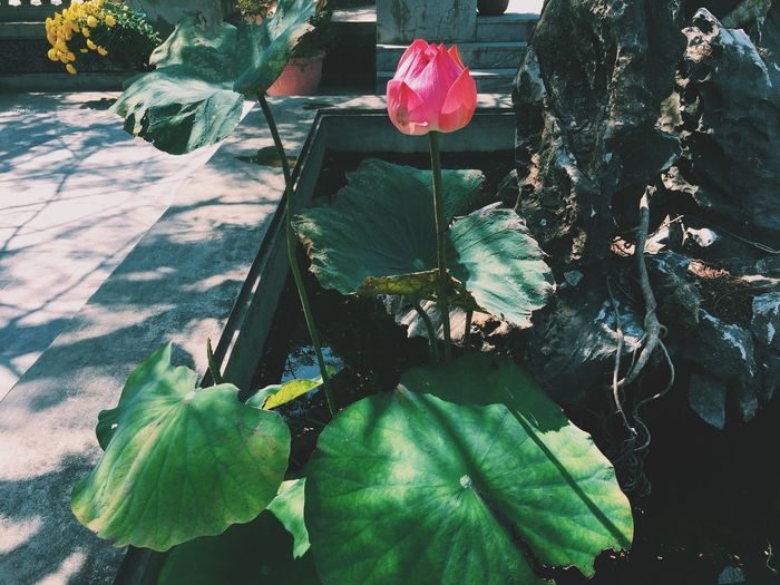 Marble Mountains Vietnam Vietnamese Da Nang Lotus Lotus Flower Lotus Pond Flower Pink VSCO Vscocam Vscogood Showcase March