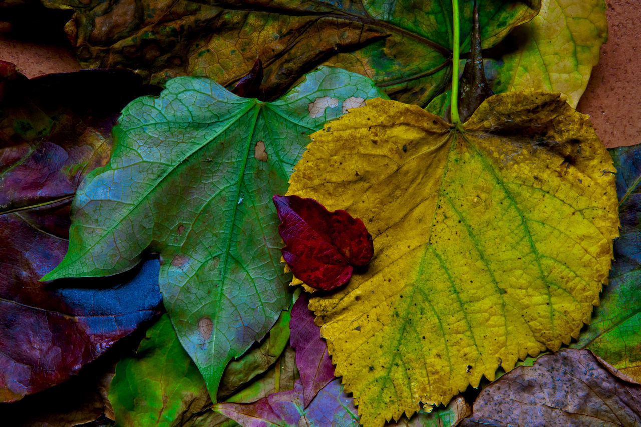 leaf, plant part, autumn, change, close-up, plant, nature, leaf vein, beauty in nature, no people, green color, day, leaves, vulnerability, fragility, directly above, dry, high angle view, outdoors, growth, maple leaf, natural condition, wilted plant