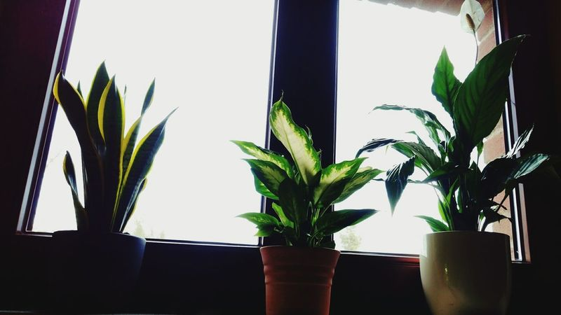 Plant Leaf Growth Indoors  Window Houseplant No People Table Nature Day Flower Nature Plant Room Decor Room Room Plant Room Flower Peace Lily Dieffenbachia Sanservieria Trifasciata Nature Photography Flowers Flower Head Flower Photography Green