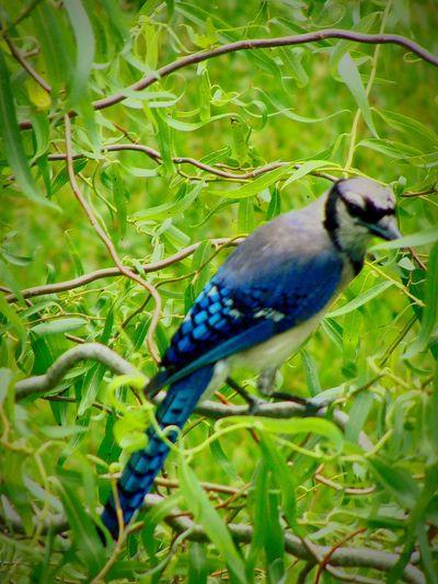 Blue JayPerched