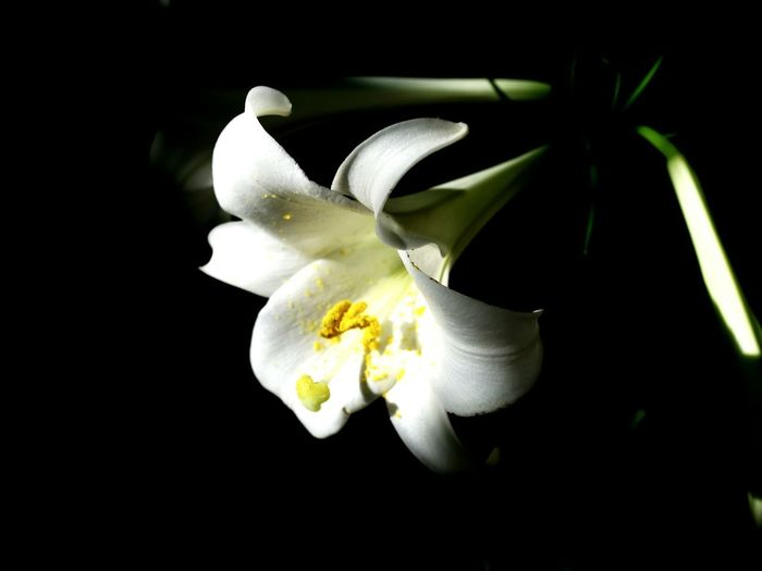 Close-up of white flowers against black background