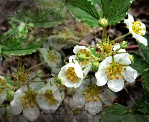 wild strawberries Blooming Botany Close-up Flower Flower Head Focus On Foreground Fragility Freshness Growth Nature New Life No People Petal Pollen Selective Focus Springtime Stamen Textured  White White Color Wild Strawberries