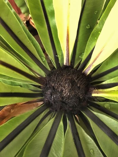 Flower Growth Fragility Green Color Nature Flower Head Plant Close-up Beauty In Nature Leaf Day Freshness No People Outdoors Fern EyeEmNewHere The Week On EyeEm Mix Yourself A Good Time Pokok Sakat Bird Nest Fern Asplenium Nidus