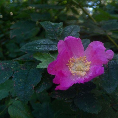 Цветок шиповника - мой самый любимый аромат, но насладиться им можно совсем не продолжительное время весной, как же передать радость найти эту драгоценность осенью! итутбываютчудеса приятныемоменты