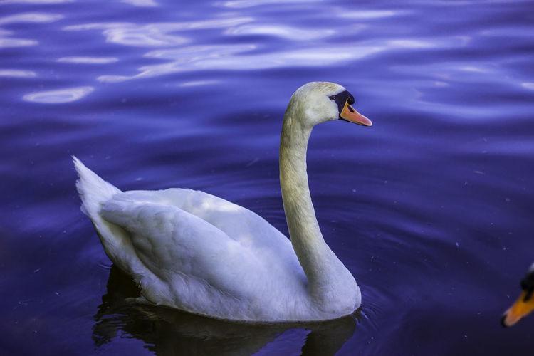 White Swan Swan