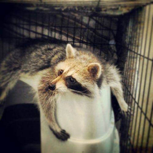 Think it's time to go to sleepppp. Petraccoon