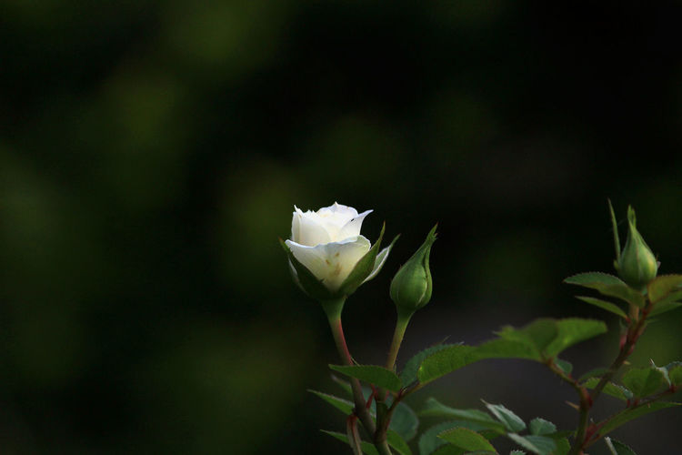 Close-up of white rose blooming in park