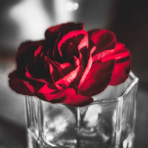 Close-up of red rose in glass