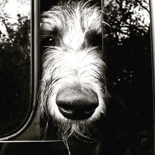 Irishwolfhound