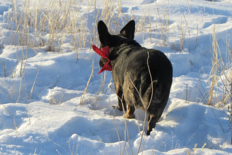 Rear view of dog walking on snow