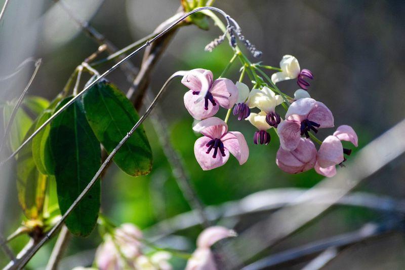 Akebi Flower