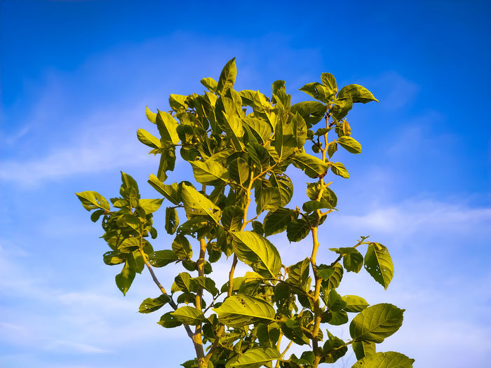 Low angle view of sunflower plant against sky