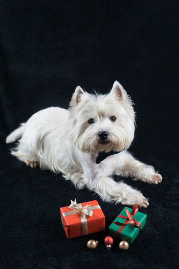 Christmas Christmas Balls Copy Space Presents West Highland Terrier West Highland White Terrie Animal Themes Black Background Christmas Bauble Day Dog Domestic Animals Gifts Indoors  Mammal No People One Animal Pets Vertical West Highland White Terrier Westhighlandwhiteterrier Westie