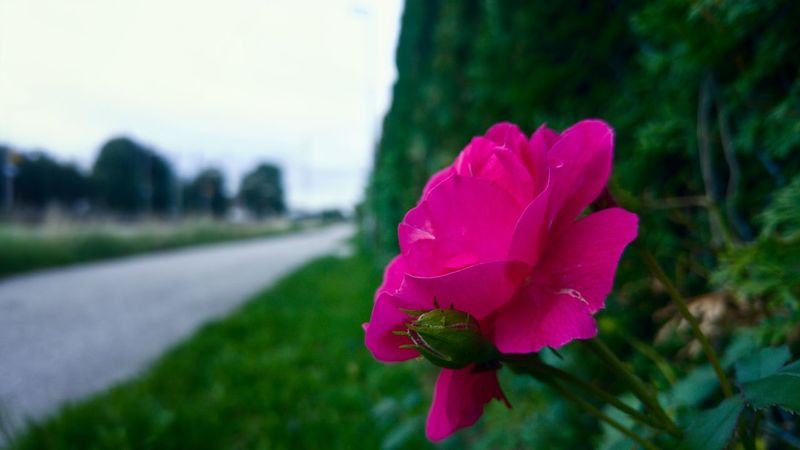 Flower Petal Nature Pink Color Beauty In Nature Fragility Flower Head Plant Focus On Foreground Rose - Flower Growth Outdoors Day Close-up Freshness No People Petunia Sky