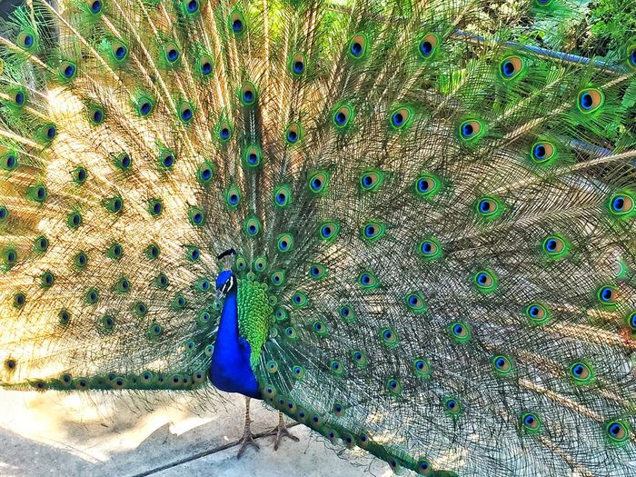 No People Bird Multi Colored Nature Fanned Out Outdoors Day Beauty In Nature Peacock