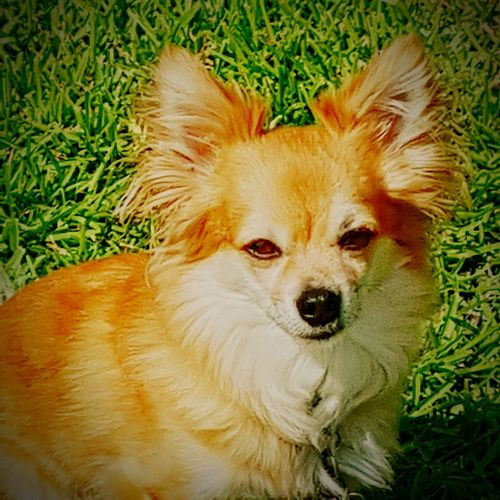 One Animal Dog Grass Mammal Looking At Camera Outdoors Close-up No People Long Hair Chawawa