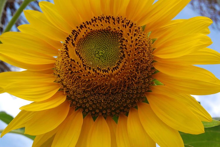 Flower Petal Flower Head Sunflower Fragility Yellow Girassol Girassolamarelo Salvador Bahia -Brasil Salvador Bahia Salvador Beauty In Nature Nature Freshness Plant Pollen Close-up Seed Blossom Macro Summer Stamen No People Uncultivated Multi Colored Paint The Town Yellow