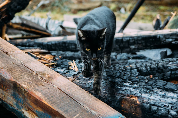 Black cat walking on burnt wood