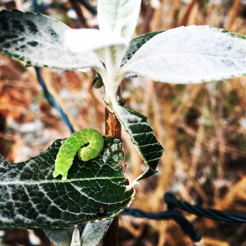 Catapiller Buddies Catapiller Wildlife & Nature Green Leaves Green Caterpillar Winter Scotland Glasgow  Cold