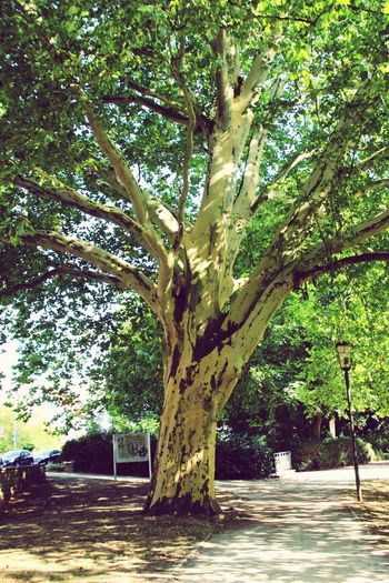 Old Tree Tree Tree Trunk Branch Single Tree Growing Huge Growth