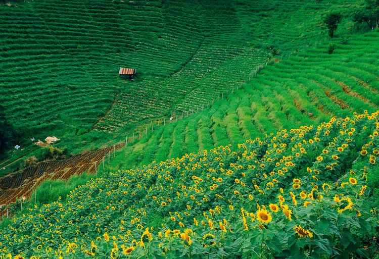 Plantation Sunflower in the middle of valley. Agriculture Growth Plant Farm Land Landscape Field Scenics - Nature Beauty In Nature Nature Day Tree Outdoors Green Color Plantation Sunflower Valley