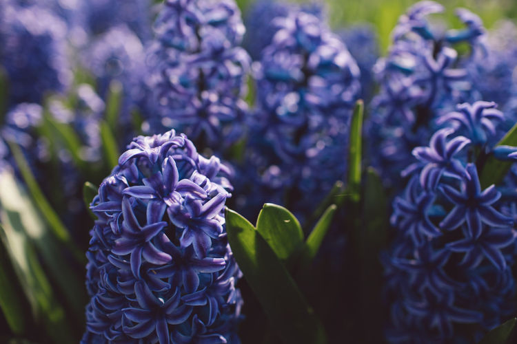 Flowering Plant Flower Plant Beauty In Nature Freshness Growth Vulnerability  Fragility Purple Close-up Petal Nature Flower Head Inflorescence Day Plant Part Leaf No People Focus On Foreground Botany Springtime Lilac Hyacinth