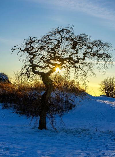 Tree in winter, Norway Snow Tree Nature Winter Snow Sun Bare Tree Tree Beauty In Nature Cold Temperature Landscape Sunlight Sunset Sky Tranquility Tranquil Scene