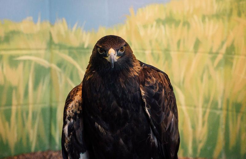 Close-up portrait of golden eagle against backdrop