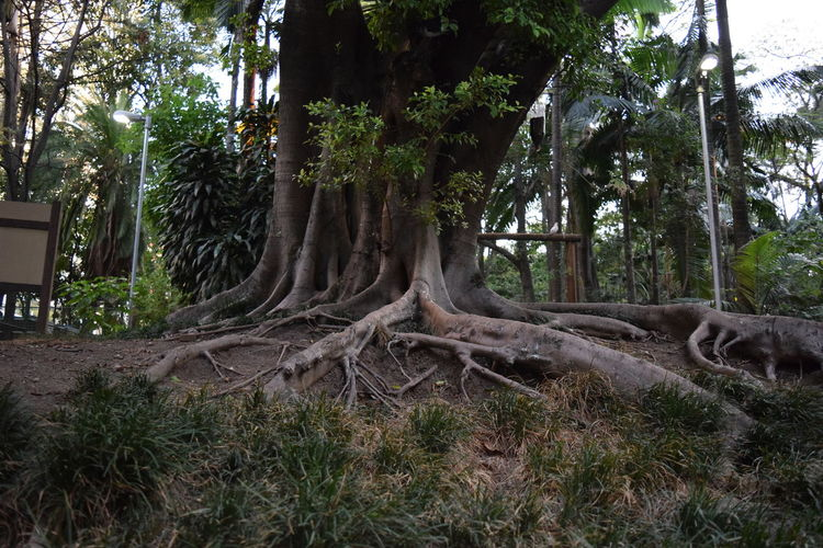 Beauty In Nature Growth Nature No People Outdoors Roots Roots Of Tree Tranquility Tree Tree Roots  Tree Trunk