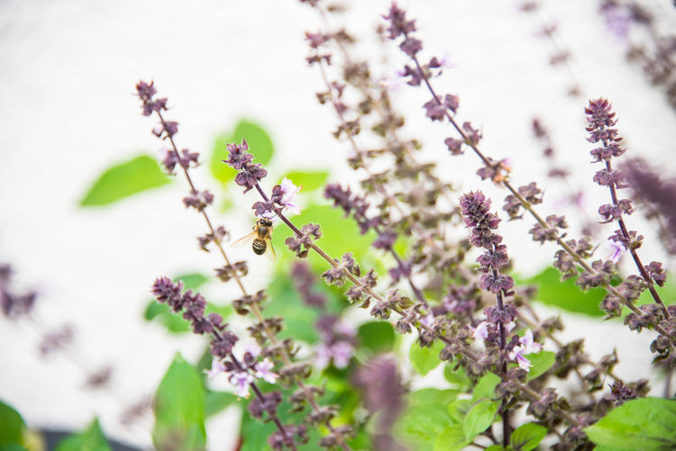 Plant Flower Growth Flowering Plant Freshness Beauty In Nature Fragility Vulnerability  Nature Selective Focus Close-up Purple No People Day Outdoors Petal Focus On Foreground Tranquility Flower Head Lavender Springtime Small Basil Basilicum Herbs Ingredient Tasty Bee Bees And Flowers