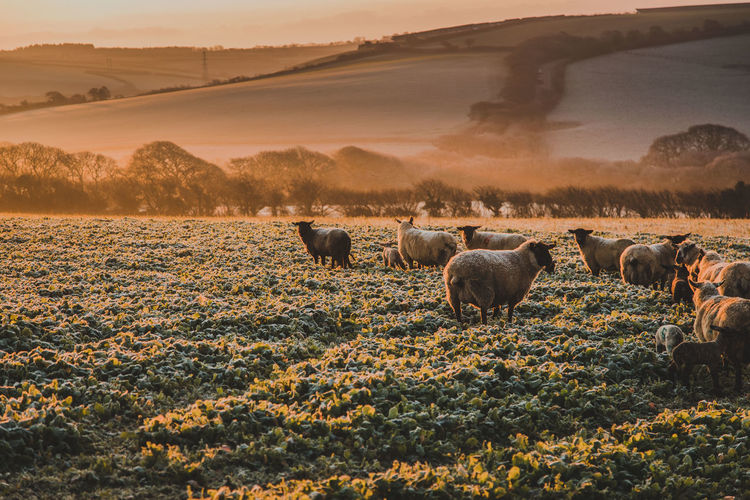 Sheep on landscape during sunset