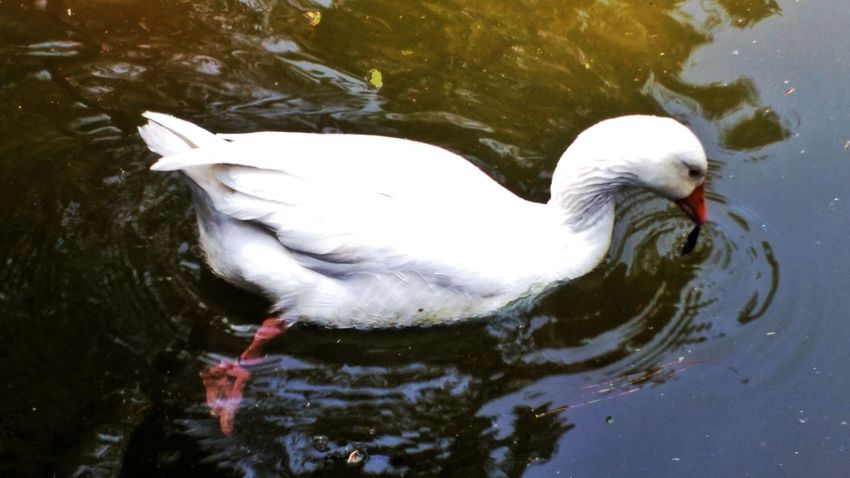 Life White Color Water One Animal Swimming Animals In The Wild Bird Lake Animal Wildlife No People Beak Nature Animal Themes Outdoors Close-up Day Swan
