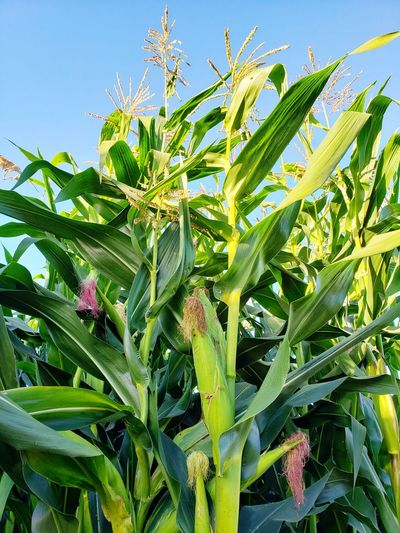 Leaf Agriculture Sky Close-up Plant Green Color Farmland Agricultural Field Corn - Crop Corn On The Cob Sweetcorn Corn Farm
