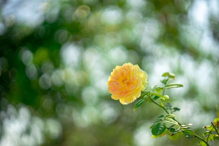 rose&bokeh Rose